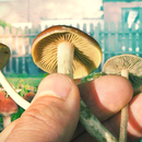 Is it possible to get magic mushrooms in HCMC? 's picture