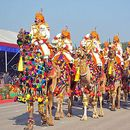 Camel Festival Bikaner's picture