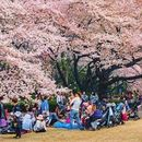 """HANAMI""Open-air party under cherry blossom tree's picture"