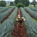 Agave Documentary + Mezcal/Tequila Tasting + Food's picture