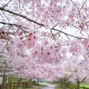 Yeouido Cherry Blossom 's picture