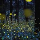 A Night With Fireflies At Purushwadi's picture