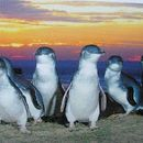 Fairy Penguins in St Kilda's picture